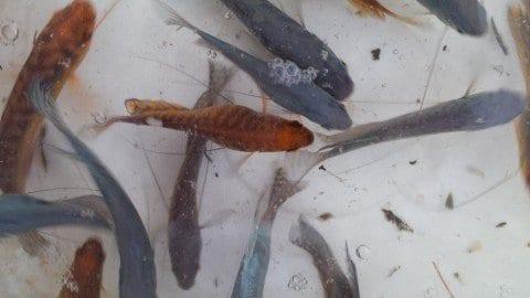 Gourami Ornamental Fish