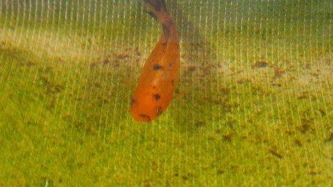 Koi Molly Ornamental Fish