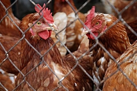 How to Start a Layer Farm for Egg Production