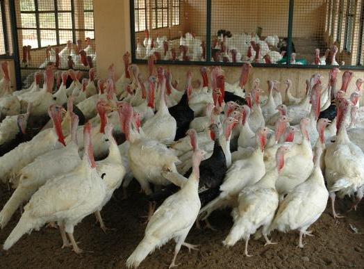 White Turkey Rearing