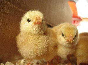Vertex broilers