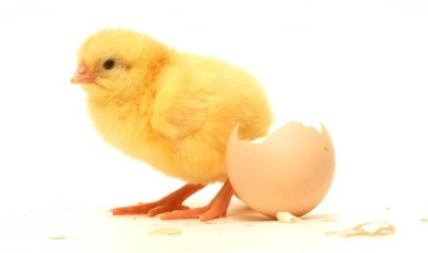 CHI Pullets