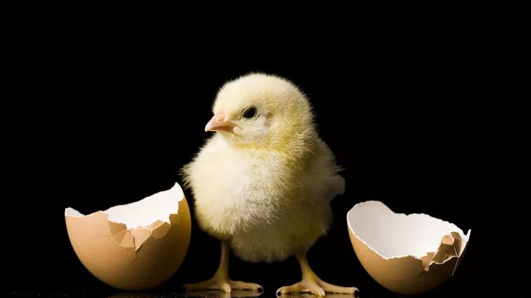 Male line broilers