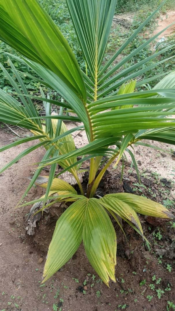 Coconut dwarf seedlings
