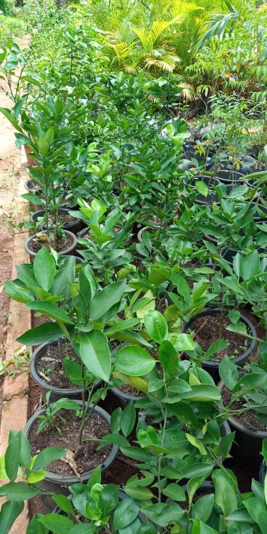 orange seedlings