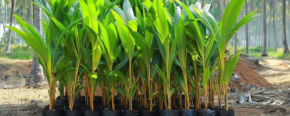 coconut hybrid farm