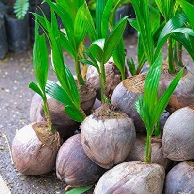 Dwarf Hybrid Coconut Seedling