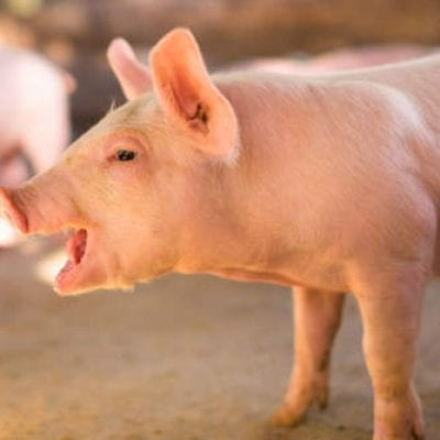 Pigs (Porcine)