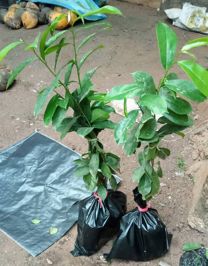 soursop seedling4