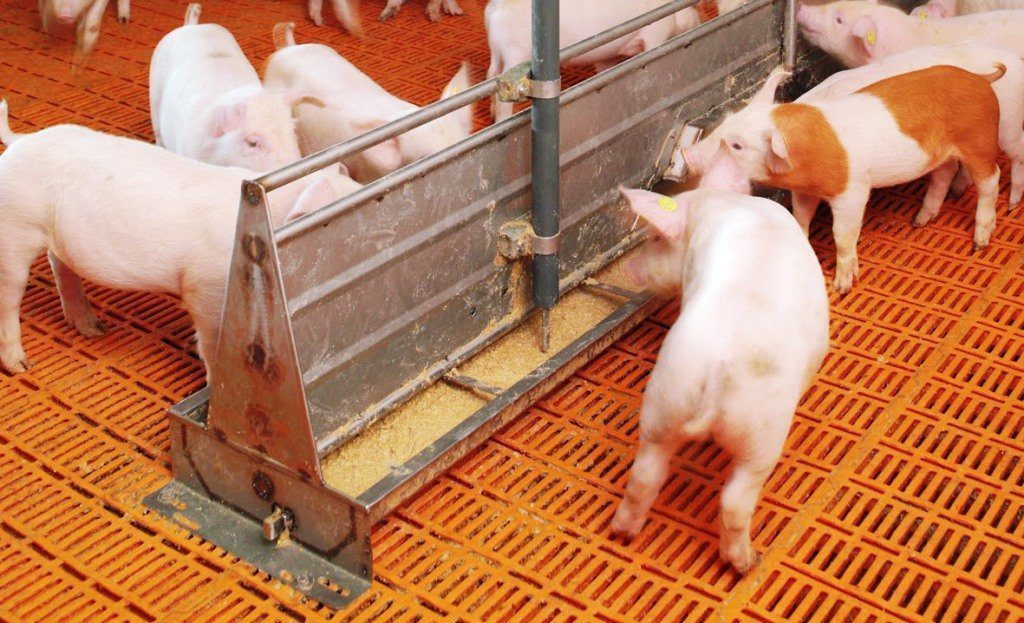 Koudijs Pig Concentrate (5% | 50kg Feed | Terratiga Brand ...
