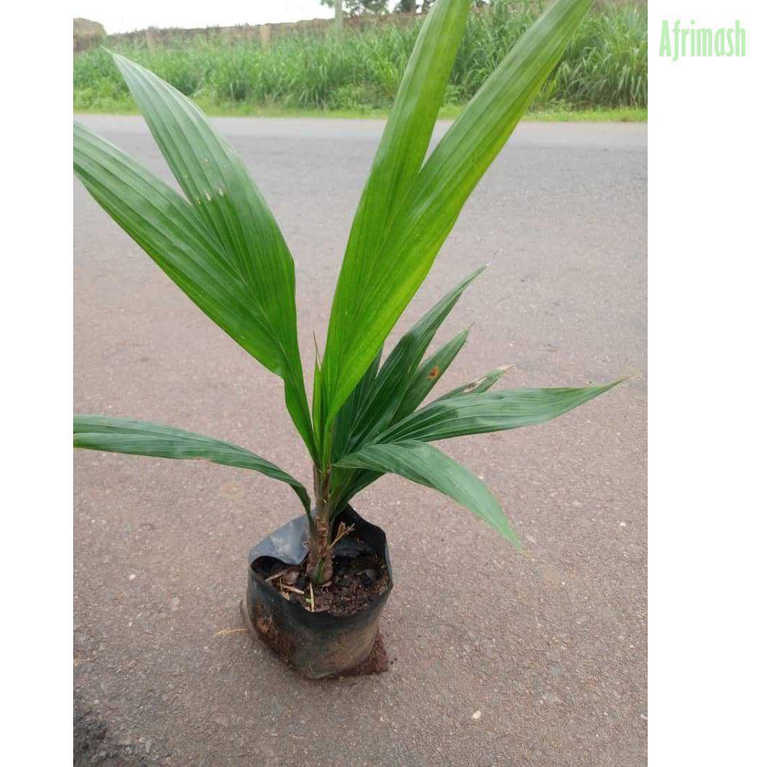 Tenera Oil Palm Seedling