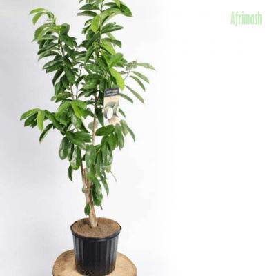soursop seedling
