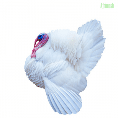 Matured Exotic Turkey Male Turkey Female Turkey Afrimash Com Nigeria