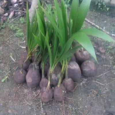 dwarf coconut