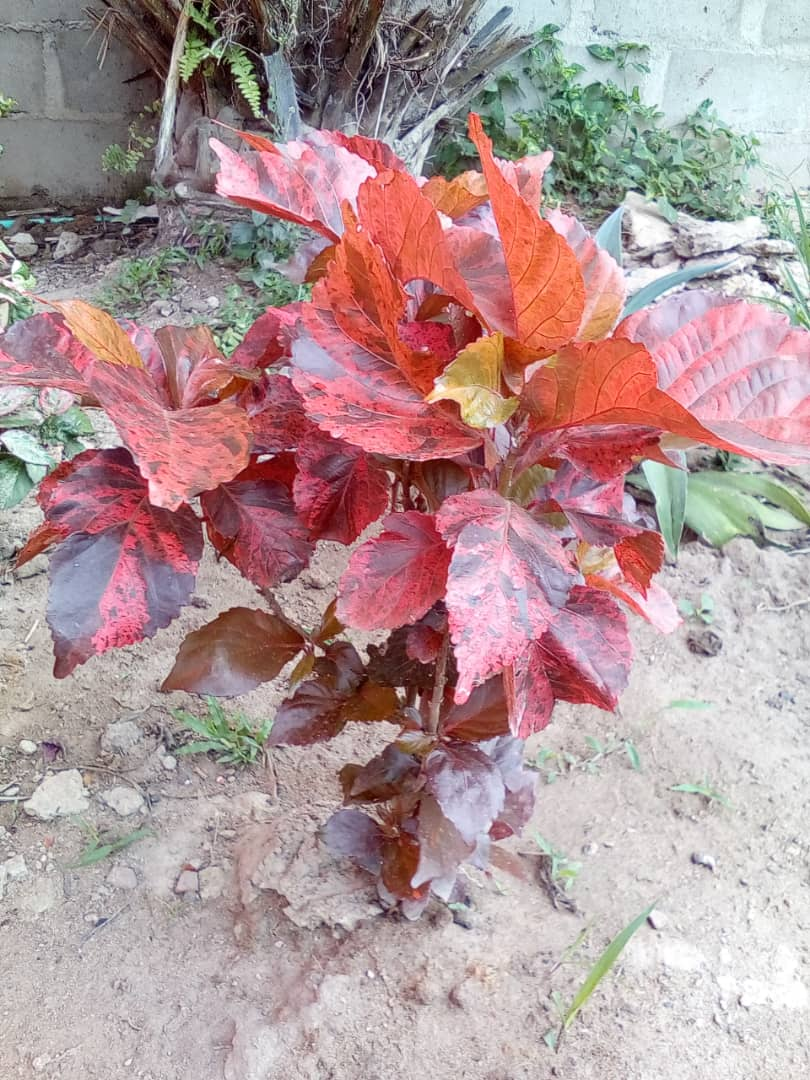 red acalypha