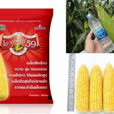 hybrid sweetcorn seeds