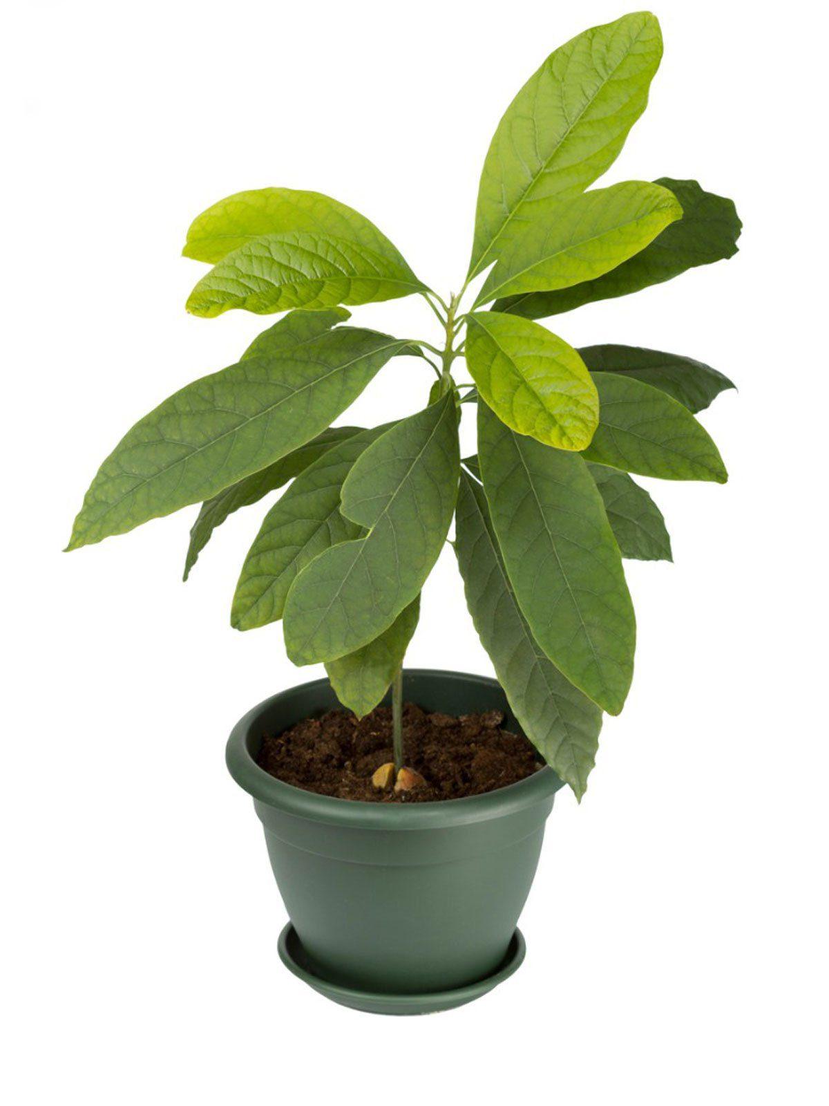 Healthy Avocado Seedlings