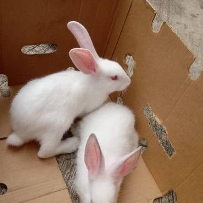 hyla rabbits