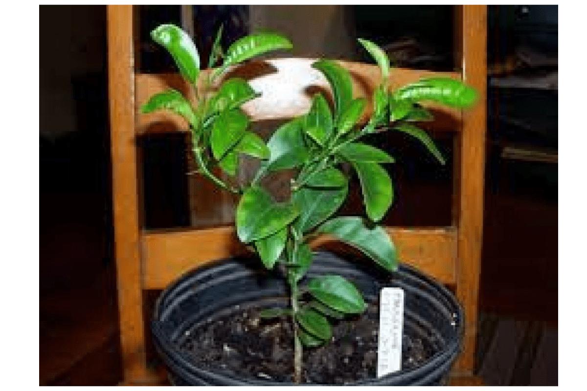 tangelo orange seedlings