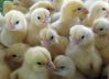 Day Old Chicks