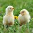 Commercial SAYED Broilers (Day-Old Chicks)