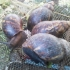 Good Quality Breeder Snails for Farmers (Average weight = 200g-250g)