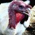 Mature Exotic Turkeys