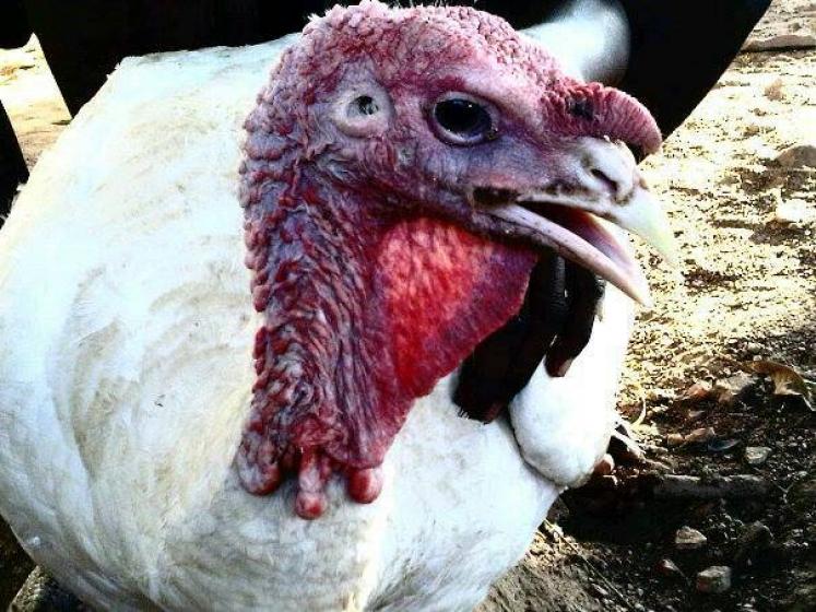 mature-turkey-local-exotic