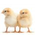 Commercial Day Old Pullet – ISA Brown (Farm Support brand)